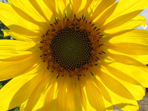 Sonnenblumen-Spirale Stockfotos