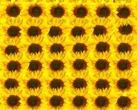 Sonnenblumen-strukturierter Hintergrund Stockfotos