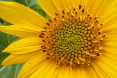Sonnenblumen tiga Stockfoto