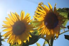 Sonnenblumen u. Sonnenschein lizenzfreie stockfotos
