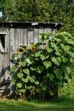 Sonnenblumen und Außengebäude Stockfotografie