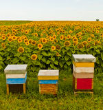 Sonnenblumen und Bienen lizenzfreie stockbilder