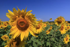 Sonnenblumen und blauer Himmel Stockbilder