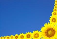 Sonnenblumen und blauer Himmel Stockfotos