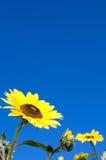 Sonnenblumen und blauer Himmel Stockfoto