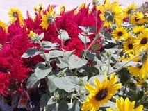 Sonnenblumen- und Dracheatem lizenzfreie stockfotografie