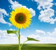 Sonnenblumen- und Grünfelder stockfotografie