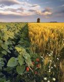 Sonnenblumen und Kamille auf dem Weizengebiet Lizenzfreie Stockfotografie