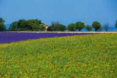 Sonnenblumen und Lavendel, Provence, Frankreich Lizenzfreies Stockfoto