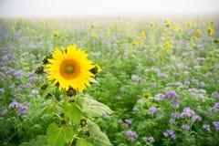 Sonnenblumen und Phacelia Stockfotos