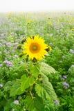 Sonnenblumen und Phacelia Stockfotografie