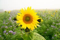Sonnenblumen und Phacelia Lizenzfreie Stockfotografie