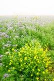 Sonnenblumen und Phacelia Stockbilder