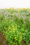 Sonnenblumen und Phacelia Lizenzfreie Stockfotos