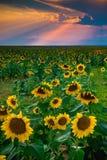Sonnenblumen und Sonnenstrahlen Stockbilder