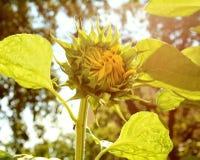 Sonnenblumen und sonniger Tag Stockfoto