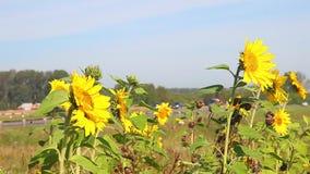 Sonnenblumen und Straße stock video