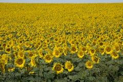 Sonnenblumen in Ungarn Stockfotos