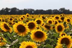 Sonnenblumen unter der Sonne Lizenzfreie Stockfotografie