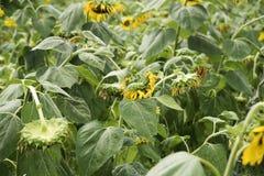Sonnenblumen verwelken stockbilder