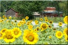 Sonnenblumen wachsen durch ein Bauernhof-Haus   Lizenzfreies Stockbild