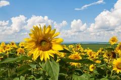 Sonnenblumen wachsen Vor dem hintergrund der Ernten, der Ebene, des blauen Himmels und der Wolken Sonniger Tag des Sommers Lizenzfreies Stockbild