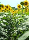 Sonnenblumen-Weise Stockfotografie