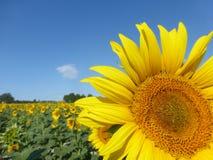 Sonnenblumen, zonnebloemen (Helianthus Annuus) Stockfotografie
