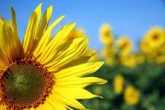 Sonnenblumenahaufnahme Stockfotografie