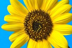 Sonnenblumenahaufnahme stockfotos