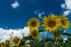 Sonnenblumenanlage Stockfotos