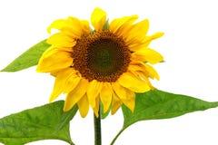 Sonnenblumenanlage auf Weiß Stockfoto
