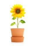 Sonnenblumenanlage im Topf lokalisiert Lizenzfreie Stockfotografie