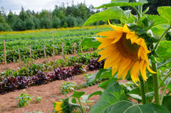 Sonnenblumenbauernhof in Prinzen Edward Island, Kanada Lizenzfreie Stockbilder