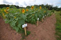 Sonnenblumenbauernhof in Prinzen Edward Island, Kanada Lizenzfreie Stockfotografie