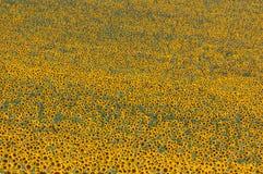 Sonnenblumenbeschaffenheit Lizenzfreie Stockfotos