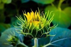 Sonnenblumenblühen Stockfoto