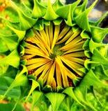 Sonnenblumenblühen Stockbilder