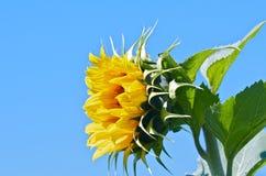 Sonnenblumenblüte Lizenzfreie Stockfotos
