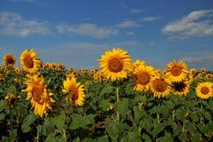 Sonnenblumenblüte Lizenzfreie Stockbilder
