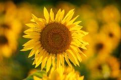 Sonnenblumenblüte auf einem Gebiet im Sommer Lizenzfreies Stockfoto