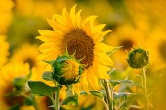 Sonnenblumenblüte auf einem Gebiet im Sommer Lizenzfreies Stockbild