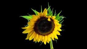 Sonnenblumenblüte, Zeitversehen mit Alphakanal stock footage