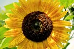 Sonnenblumenblume lizenzfreies stockbild