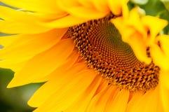 Sonnenblumenblume Lizenzfreies Stockfoto