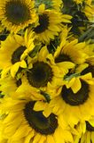 Sonnenblumenblume mit Arbeitskraftbiene lizenzfreie stockbilder