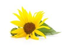 Sonnenblumenblume mit Blättern Stockbild
