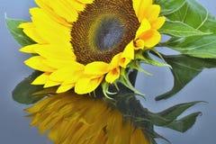 Sonnenblumenblume mit der Spiegelung stockbilder