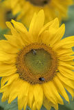 Sonnenblumenblumen Stockbild