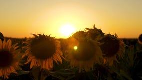 Sonnenblumenblumen auf einem Gebiet in den Strahlen eines sch?nen Sonnenuntergangs Nahaufnahme Das Konzept des landwirtschaftlich stock video